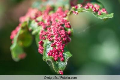 Gallmilben - Eriophyidae