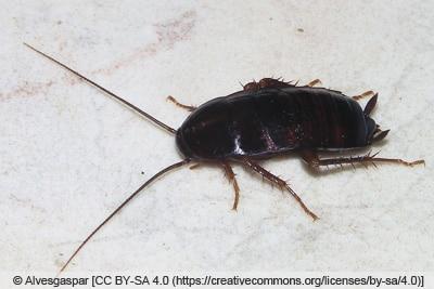 Gemeine Küchenschabe - Kakerlake - Blatta orientalis