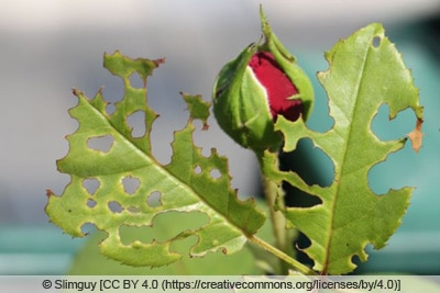 Schadbild einer Rosenblattwespe