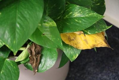 Gelbes Blatt an Philodendron