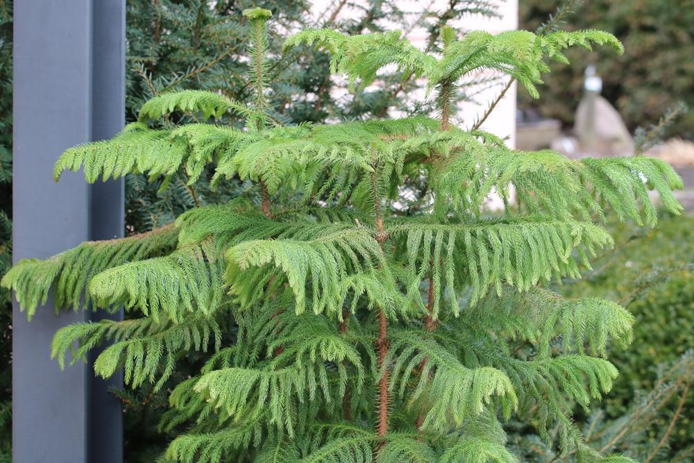 Zimmertanne - Araucaria heterophylla