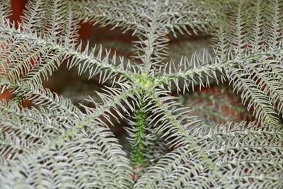 Zimmertanne als Zimmerpflanze