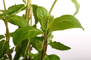 Nanaminze-Pflanze