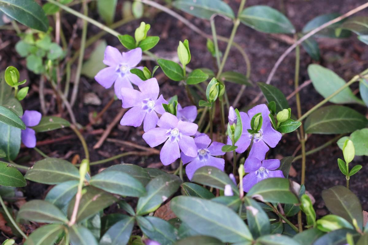 Blaue Frühblüher - Kleinblättriges Immergrün