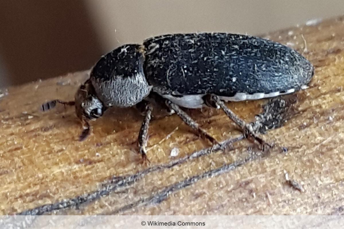 Dornspeckkäfer - Dermestes maculatus
