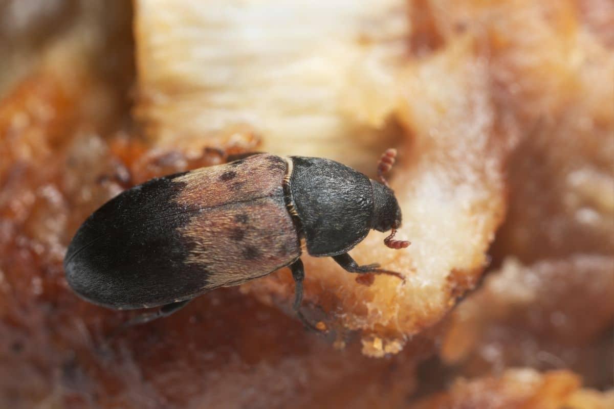 Gemeiner Speckkäfer - Dermestes lardarius