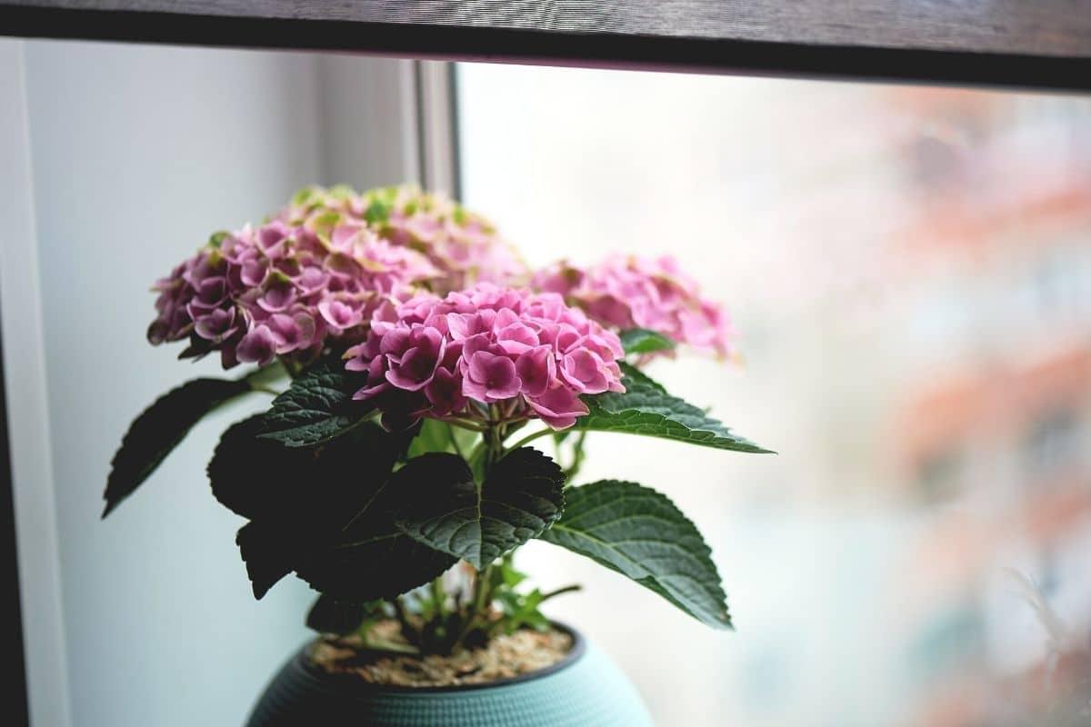 Hortensie im Topf am Fenster überwintern