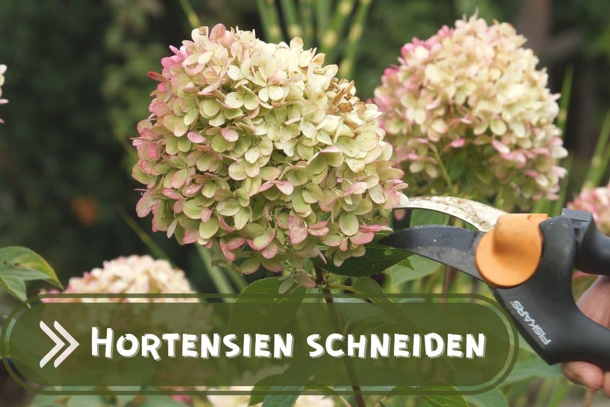Hortensien schneiden und überwintern