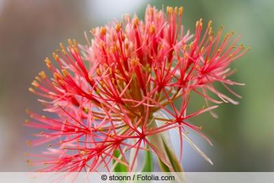 Blutblume - Haemanthus Blüte