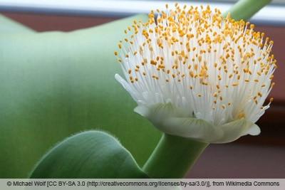 Blutblume - Haemanthus albiflos