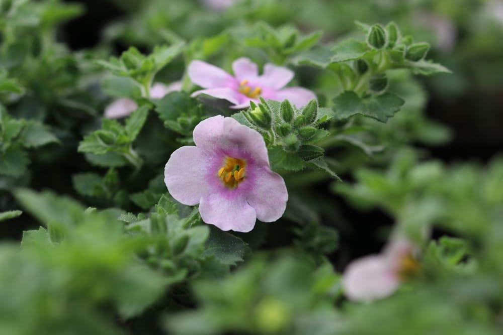 Schneeflockenblume - Chaenostoma cordatum
