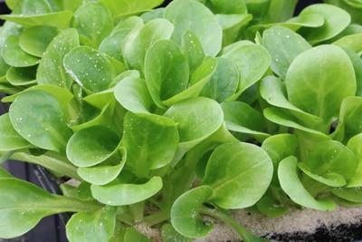 Feldsalat - Valerianella Locusta