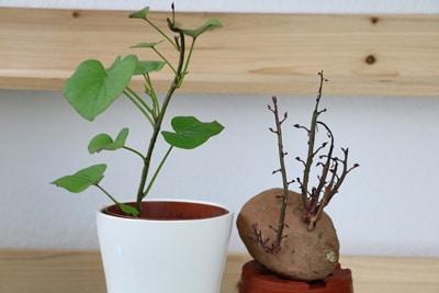 Gekeimte Süßkartoffel und Jungpflanze im Topf