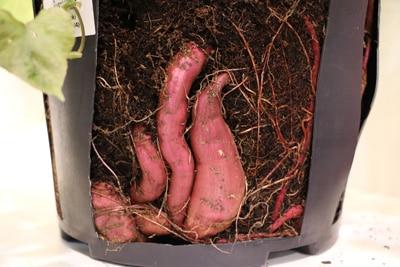 Früchte der Süßkartoffel