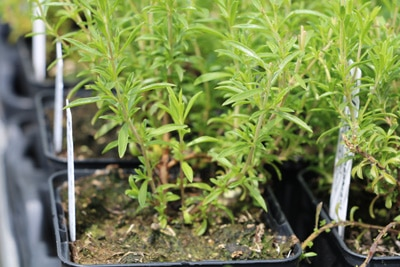 Bohnenkraut - Satureja hortensis