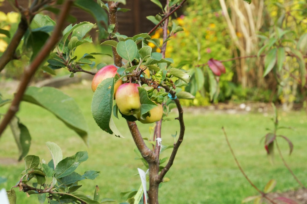 Obstbaumveredelung - Apfelbaum