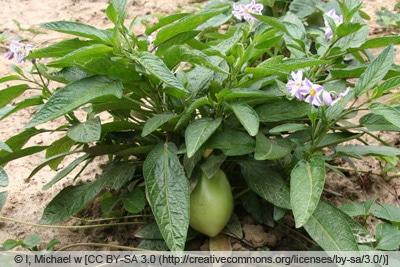 Junge Melonenbirnenpflanze
