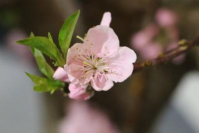 Einzelne Blüte des Nektarinenbaums