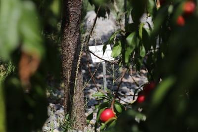 nektarinenbaum selber ziehen