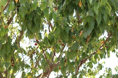 Kirschbaum mit Schrotschusskrankheit