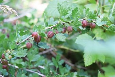 Stachelbeere - Ribes uva - crispa