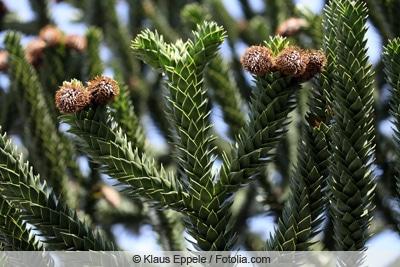 Affenbaum-Araucaria-Schmucktanne