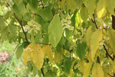 ahornbaum schneiden