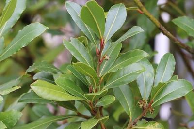 Lorbeerbaum - Echter Lorbeer - Laurus nobilis