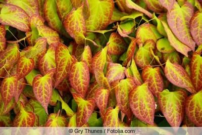 Elfenblume - Epimedium rubrum