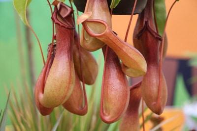 Kannenpflanze - Nepenthes