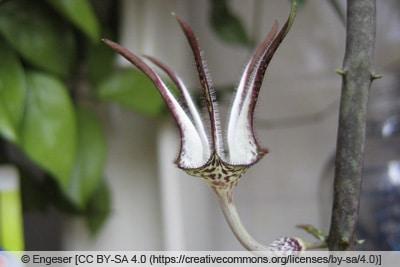 Leuchterblume - Ceropegia stapeliiformis ssp. stapeliiformis