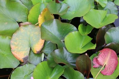 Seerose mit gelben Blättern