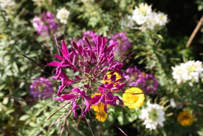 Spinnenblume - Cleome