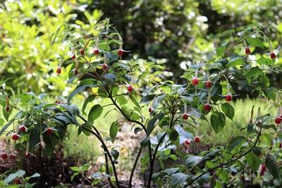 Fuchsie - Fuchsia