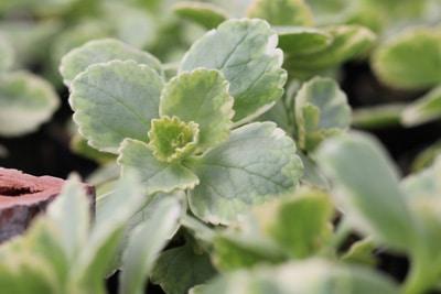 Verpiss-dich-Pflanze - Plectranthus ornatus