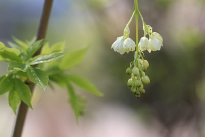 Gemeine Pimpernuss - Staphylea pinnata
