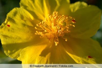 Blüte des Sonnenröschens