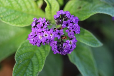 Vanilleblume - Heliotrop - Heliotropium arborescens