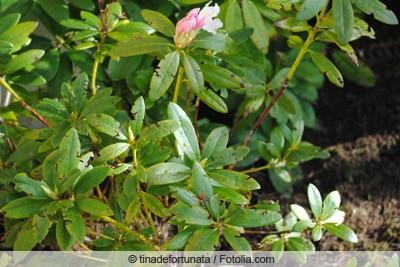 Schadensbild des Dickmaulrüsslers an Rhododendron