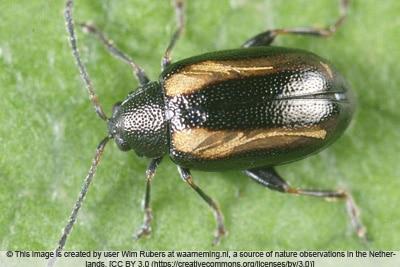 Kohlerdfloh - Phyllotreta undulata
