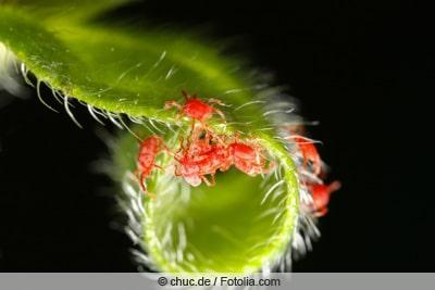 Roten Spinnen
