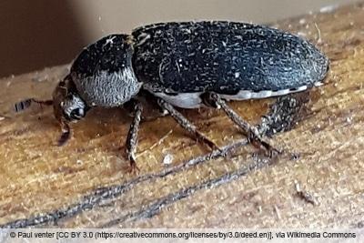 Dornspeckkäfer-Dermestes-Maculatus