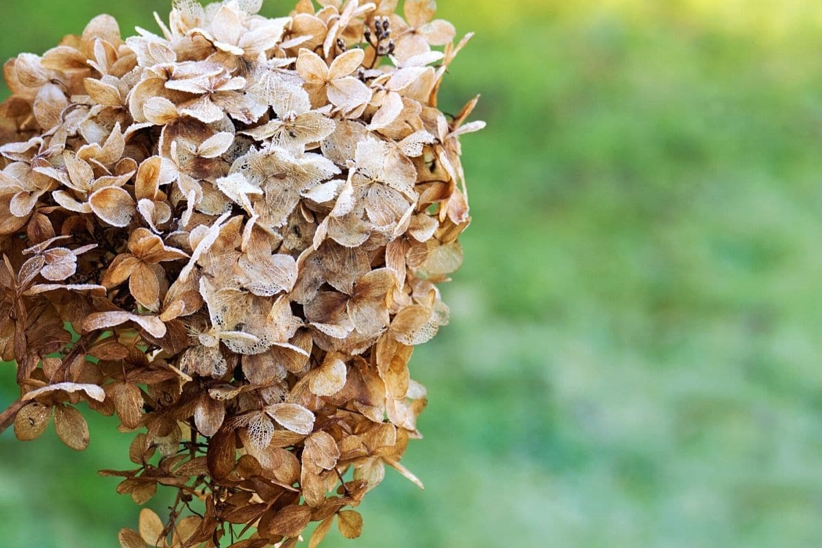 Rispenhortensie - Hydrangea paniculata 'Limelight'