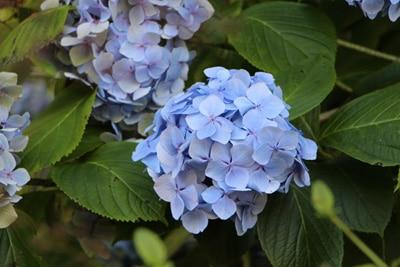 Hortensie mit blauer Blüte