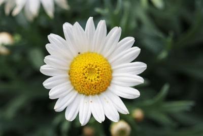 Margeriten-Leucanthemum