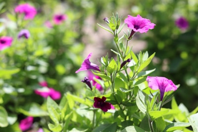 Violette Petunie