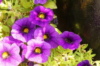Petunien - Petunia
