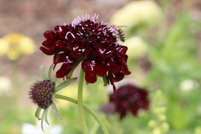 Einzelne Skabiosen-Blüte