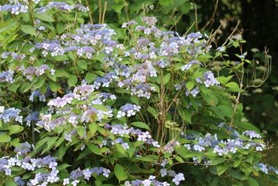 Tellerhortensie - Hydrangea serrata