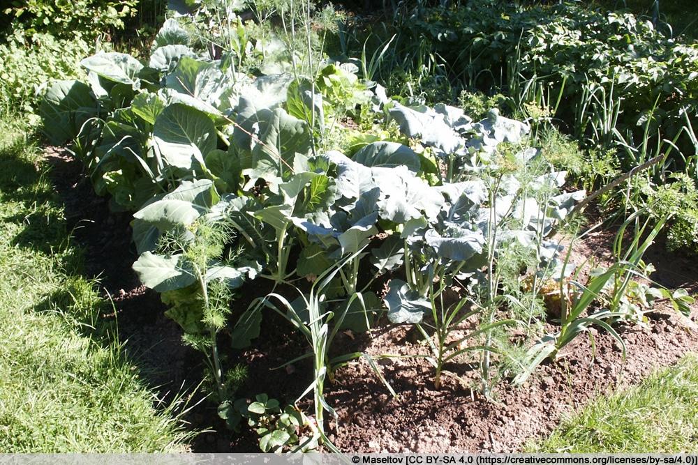 Hügelbeet mit Gemüse